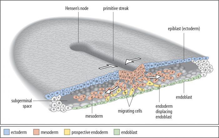 3胚葉が出来る過程を表した絵|不妊治療HP