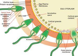 受精する時の精子の変化を示した図|不妊治療HP
