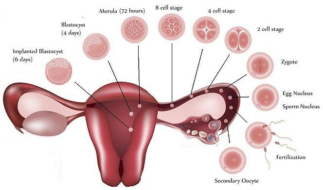 受精卵の細胞分裂の過程|不妊治療HP