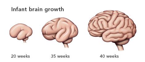 赤ちゃんの脳の成長を表した解剖図|不妊治療HP