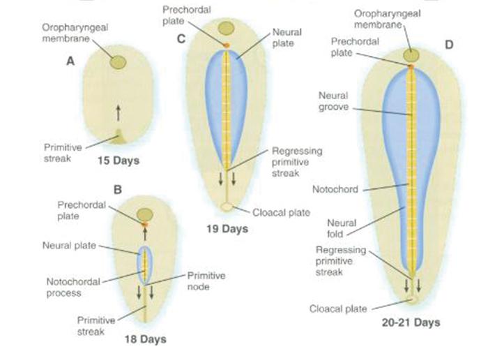 胚の成長の過程を表した図|不妊治療HP